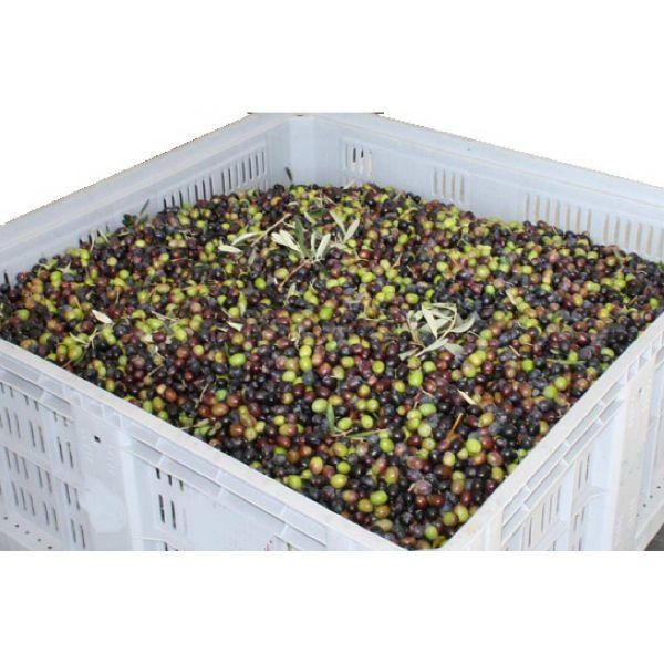 Rullo raccogli olive dal terreno chiodato con cestello cesto di raccolta 35cm basta telo rete sotto gli alberi!